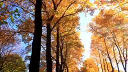 紅葉のユリの木の並木と木もれ日の光芒 Footage