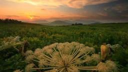 シシウド咲く霧ヶ峰高原と山小屋と夕日 ビデオ