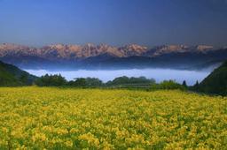 Hakuba Mountain Range Colored With Morning Sun, Rape Field And Sea Of Fog stock footage