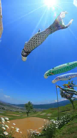 The carp streamers, Obasute rice terraces with blooming Margaret and shaft of li Footage