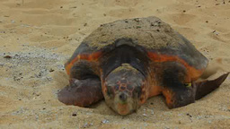 Turtles on sandy beach Footage