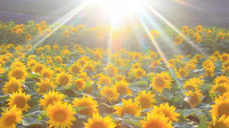 Shaft of light on a flower garden of lavender and sunflower and the sun Footage