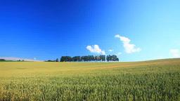 小麦畑とカラマツの木立 Footage