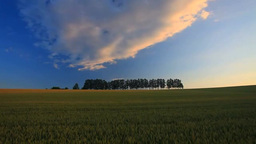Wheat fields, grove of larch and sunset Footage