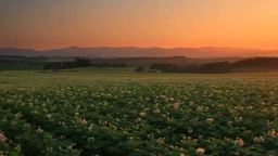 Blooming potato fields and sunset Footage