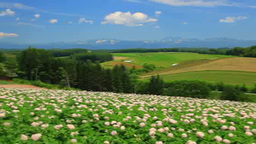 Blooming potato fields, Tokachi mountain range and Mount Taisetsuzan Footage