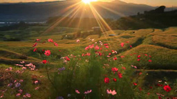 Rice fields and cosmos flowers in the countryside with a landscape of morning su Footage
