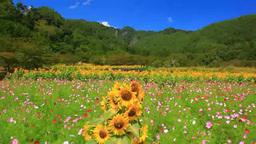 ヒマワリとコスモスの花畑と独鈷山とわた雲 Footage