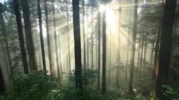朝霧の光芒と杉林 Footage