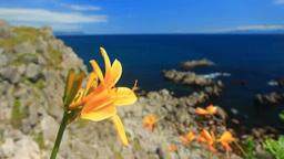 エゾカンゾウ咲く立待岬の海と恵山岬遠望 Footage