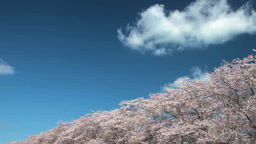 Oriental Cherry Tree Rows And Blue Sky stock footage