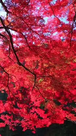 maple leaves 影片素材