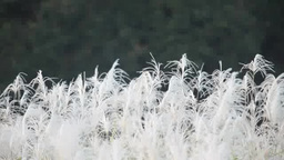 Pampas Grass Swaying In The Wind stock footage