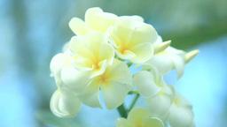 風に揺れるプルメリアの花 Footage
