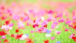 風に揺れるピンクのポピー Footage