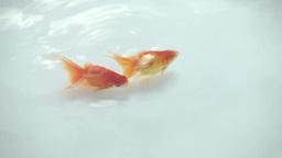 泳ぐ金魚 Footage