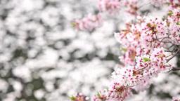 桜と花びらが流れる川面 Footage