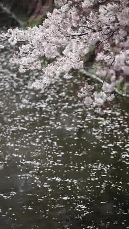 桜と花びらが流れる川面 ภาพวิดีโอ