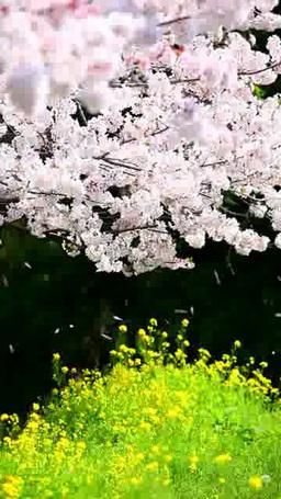 桜と菜の花 Footage