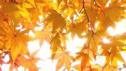 秋の紅葉 Footage