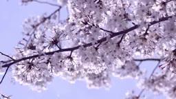桜の花 Footage