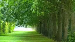 風に揺れている新緑の並木道 Footage