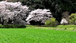 水田と桜 Footage