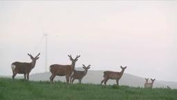 宗谷丘陵のエゾシカと朝の風力発電 Footage