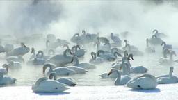 屈斜路湖の朝の白鳥 Footage