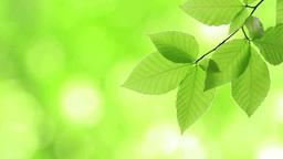風にゆれる新緑のブナの葉 Footage
