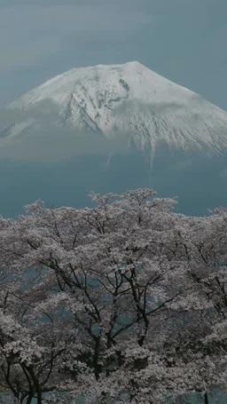 富士山と桜 影片素材