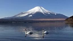 山中湖の白鳥 Footage