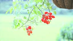 風に揺れるハンギングプランター植えのミニトマト Footage