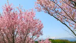 桜と吾妻連峰 Footage