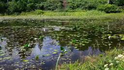 志賀高原蓮池のヒツジグサとコウホネと紅葉 Footage