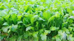 収穫時期の野沢菜 Footage
