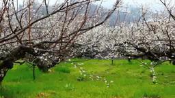 ろうかく梅園の梅の花 Footage