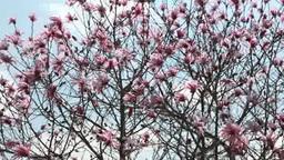 ベニコブシの花 Footage