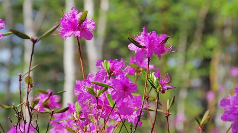 Daurian rhododendron, Labrador tea (Rhododendron d Stock Video Footage