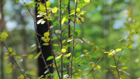 Tilt shot of birch young tree in autumn while wind Stock Video Footage