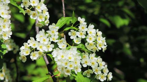 Bird-cherry tree (Prunus Padus) with spring flower Stock Video Footage