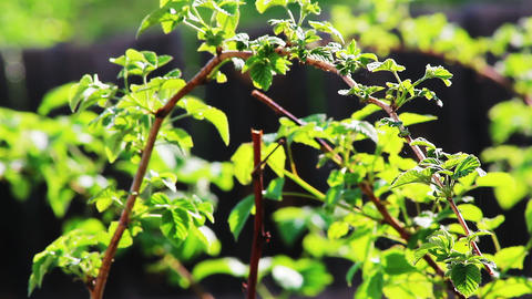 Raspberry foliage shot in spring with shallow dept Stock Video Footage