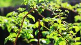 Raspberry Foliage Shot In Spring With Shallow Dept stock footage