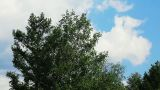 Timelapse with tree and clouds in summer Footage