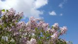 Spring Flowering Lilac Against Blue Sky Footage