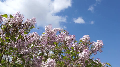 Spring Flowering Lilac Against Blue Sky Stock Video Footage