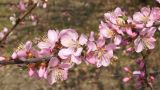 Spring Flowering Branch (Armeniaca Mandshurica) stock footage