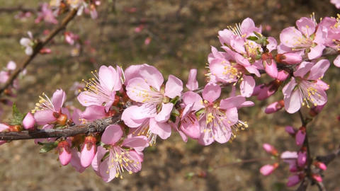 Spring Flowering Branch (Armeniaca mandshurica) Stock Video Footage