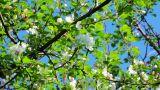 Apple tree buds in spring Footage