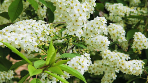 Bird-cherry tree (Prunus Padus) with spring flower Stock Video Footage